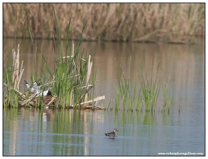 Lyskonoh úzkozobý 6. 5. 2012 PR Nový rybník, Líně (PS)